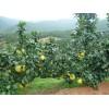 大量供应琯溪蜜柚,红心蜜柚,三红蜜柚,蜜柚苗,支持一件代发