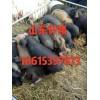 18615397873山东三元仔猪批发价格