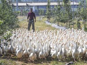 河北景县:苹果园里养鹅忙 (2)