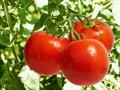 专家建议:西红柿着色四注意