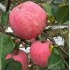 最新红富士苹果报价 山东红富士苹果基地价格