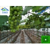 葡萄避雨栽培大棚设施建设,选择专业,芳诚温室