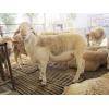 供应甘肃白头杜泊羊多少钱一只成年育肥羊多少钱一斤