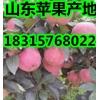 山东红富士苹果大量上市 苹果产地批发价格