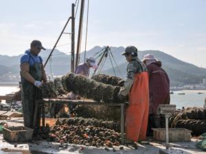 威海渔港扇贝丰收忙 今年价格有所下降 (1)