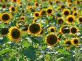 云南罗平:晚熟观赏向日葵试种成功 (1)