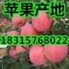 山东红富士苹果批发  苹果产地批发价格