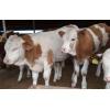 山西西门塔尔牛牛犊价格 育肥牛犊养殖技术 多大的牛犊好养殖