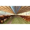 常年供应纯种西门塔尔牛3-6个月小牛犊圈放养殖均可免费运送