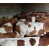 西门塔尔牛犊 肉牛犊价格 西门塔尔牛养殖场