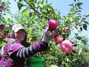 辽宁鞍山:本地产的苹果熟了 卸果季果农笑开颜