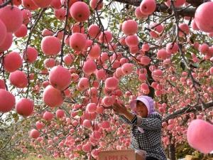 山东:30万亩苹果丰收 (4)