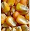 东北干玉米价格 收购玉米