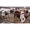 出售西门塔尔肉牛育肥牛犊 肉牛品种肉牛价格肉牛崽价格肉牛养殖