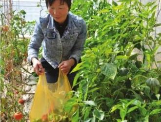 永昌妇女包永花带领乡亲发展绿色蔬菜