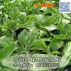 冰菜种子种苗 南非冰草种子种苗 水晶冰菜
