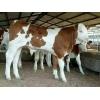 西门塔尔牛养殖场 隆鑫牛犊批发 低价格好养殖的致富牛2