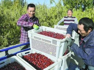 新疆若羌县23万亩红枣进入采摘期 (1)