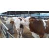 西门塔尔牛厂家西门塔尔牛牛犊批发买牛犊去隆鑫牧业