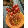 湖南番茄管理的几个误区,番茄大棚信息咨询,芳诚温室