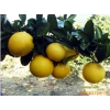 建阳桔柚 礼盒装 11月份正式上市 特价供应