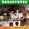 西门塔尔牛养殖场 隆鑫牛犊批发 低价格好养殖的致富牛