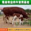 西门塔尔牛犊优良肉牛量大优惠