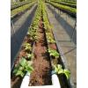 采摘新秀--草莓,露天或设施栽培,清远草莓定植缓苗管理要点