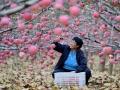 河北:苹果丰收乐农家 (2)