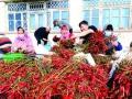 辽宁凌海市:小辣椒让贫困家庭户均增收4000元 (1)