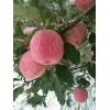 沂南膜袋红富士苹果基地批发 红富士苹果批发价格