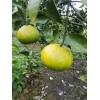 丰收中的甜桔柚 甜度已经达到14%