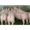 山东仔猪繁育基地仔猪出售