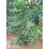 供应米径3-20公分美国山核桃树3000棵