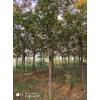 米径3-20公分美国山核桃树