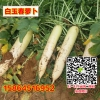 进口白玉春萝卜白萝卜种子高产 不易裂根 收获期长 基地用种