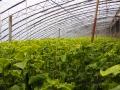山东滕州:特色农业——托起农民增收致富梦 (4)