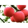 15020310061山东冷库红富士苹果价格