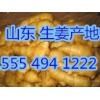 山东大黄姜批发价格走势小黄姜多少钱一斤