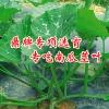 南瓜茎叶新品种——绿健