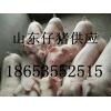 山东三元猪批发价格
