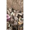 原种姜种产区批发姜种今日批发价格