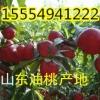 15554941222山东大棚油桃批发价格
