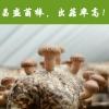 河南昌盛宝菇专业定制优质高产出口香菇菌包菌棒厂家长期批发供应