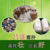 昌盛818香菇菌种 菇质瓷实 子实体大