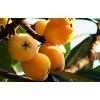 【四川特产】屏山甜大五星枇杷批发零售 新鲜时令水果