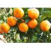 重庆沃柑柑橘苗特点,重庆沃柑柑橘苗价格