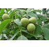 贵州核桃树苗基地,贵州核桃树苗品种