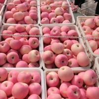 山东红富士苹果批发