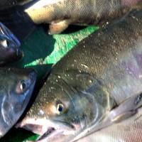 黑龙江大马哈鱼多少钱,佳木斯哪里卖大马哈鱼